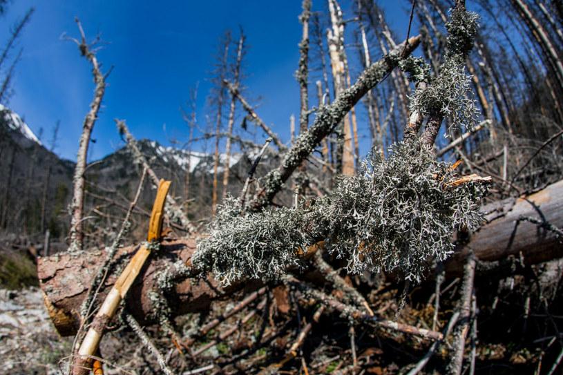 Obumarły las z biegiem lat się na nowo odrodzi. Jednak nie stanie się to szybko /Jan Graczynski/East News /East News