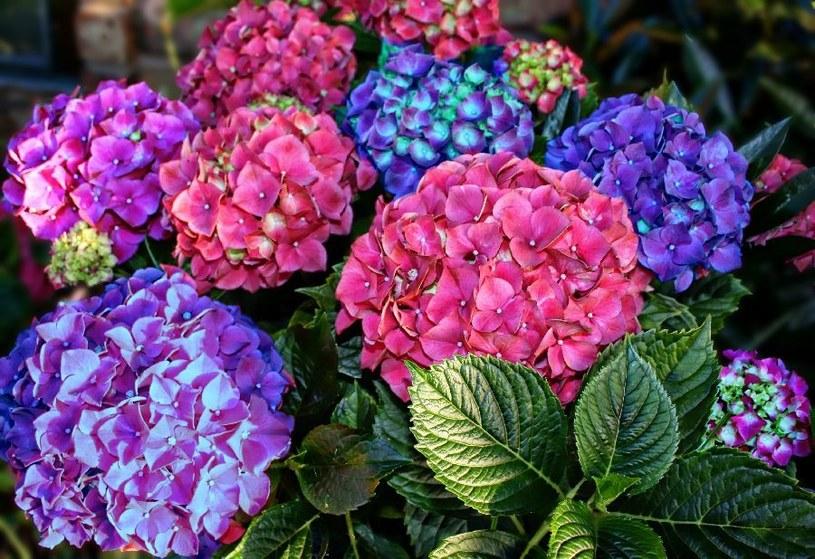 Ocet pokochały hortensje /©123RF/PICSEL