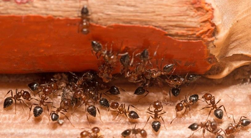 Ocet przepędzi mrówki /©123RF/PICSEL