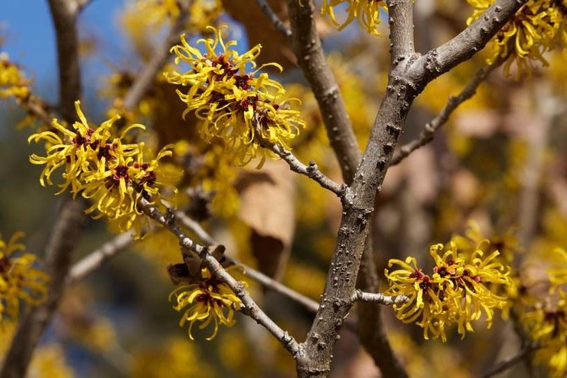 Oczar w fazie kwitnienia /©123RF/PICSEL