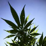 Od 1 kwietnia marihuana w Czechach jest lekarstwem. Nie będzie jednak refundowana