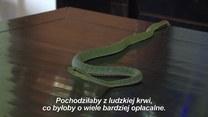 Od 30 lat wstrzykuje sobie jad węży!