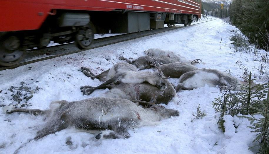 Od czwartku pociągi zabiły na północy Norwegii już 106 reniferów /JOHN ERLING UTSI /PAP/EPA