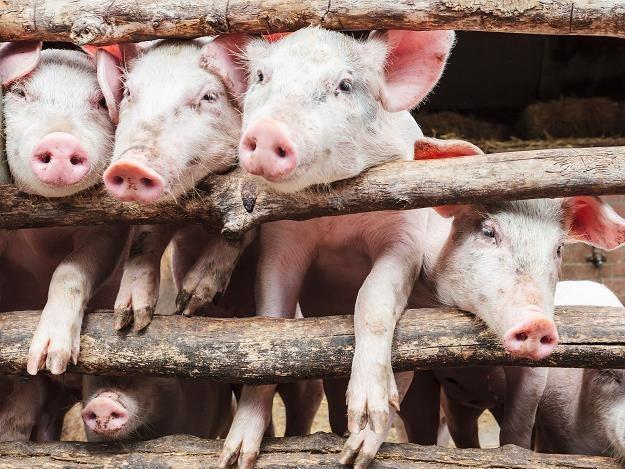 Od lutego 2014 roku zlokalizowano w Polsce 16 ognisk afrykańskiego pomoru świń /©123RF/PICSEL