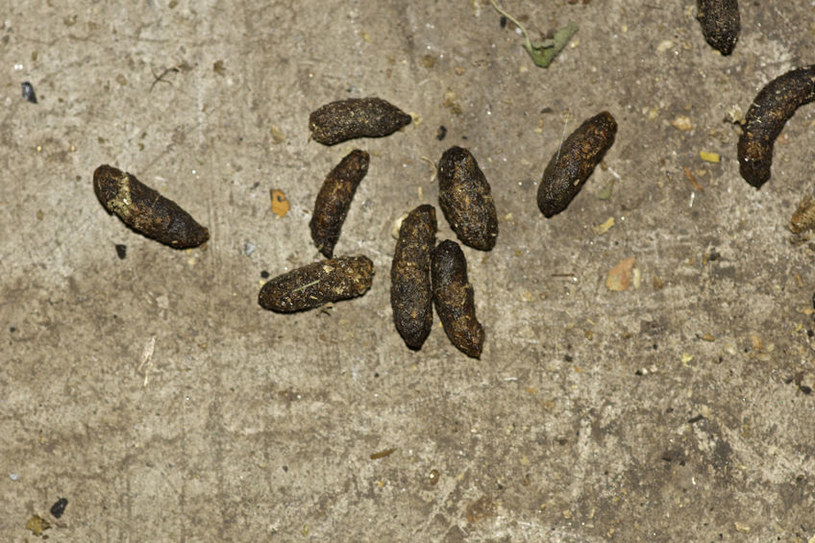 Odchody szczura /©123RF/PICSEL
