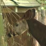 Oddaj telefon, ocal okapi! Możesz pomóc uratować zagrożone gatunki