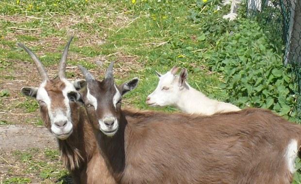 Oddam kozy w dobre ręce. Zwierzęta szukają nowego domu