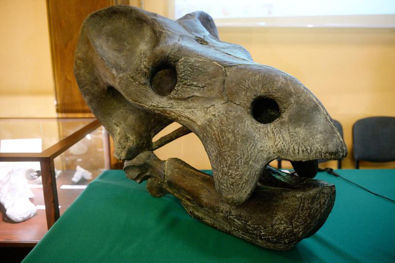 Odkrycie śląskiego dicynodonta było przełomem dla polskich paleontologów /East News