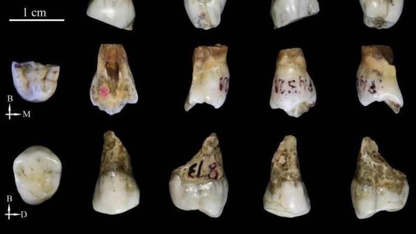 Odkryte zęby nie pasują do żadnego znanego gatunku człowiekowatych /materiały prasowe