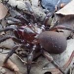 Odkryto nową grupę pająków budujących doskonale zakamuflowane nory