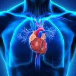 Odkryto nowe białko kluczowe dla prawidłowej pracy serca