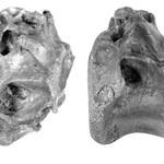 Odkryto nowego kuzyna tyranozaura