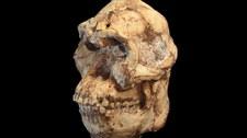 Odkryto nowy gatunek hominina?