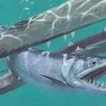 Odkryto nowy gatunek ryby spokrewniony z współczesnymi sardelami