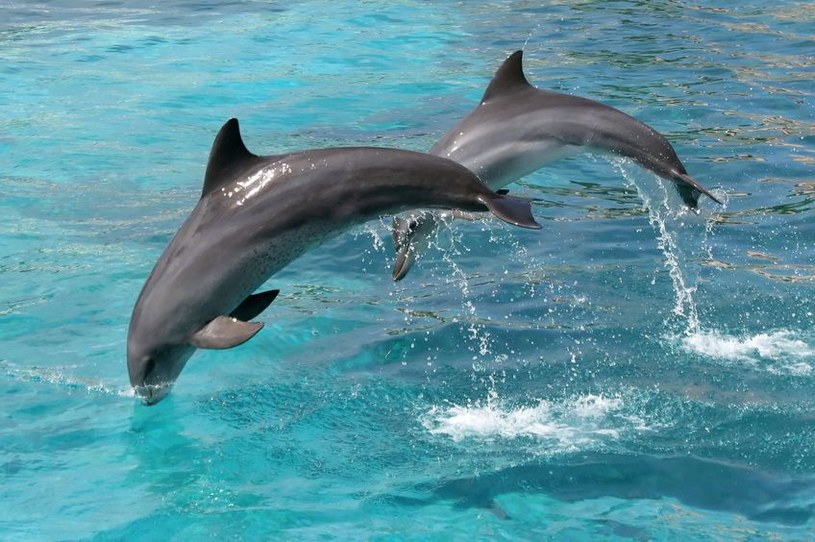 Odkryto sposób, by porozmawiać z delfinami /123RF/PICSEL