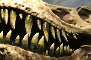 """Odkryto szczątki """"ciężarnego"""" T-rexa"""