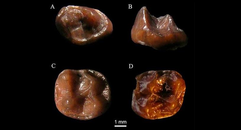 Odkryty ząb Simiolus minutus /materiały prasowe