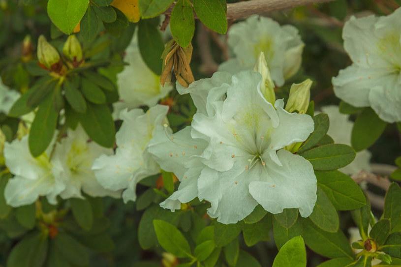 Odmiana o białych kwiatach /©123RF/PICSEL