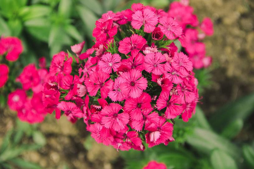 Odmiana o różowych kwiatach /©123RF/PICSEL