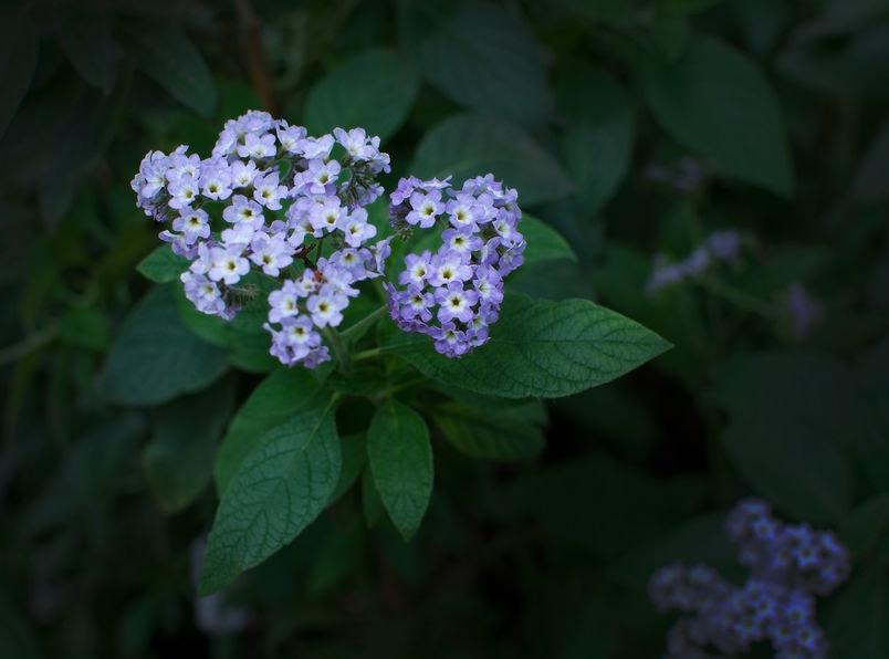 Odmiana z błękitnymi kwiatami /©123RF/PICSEL