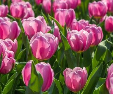 Odmiany tulipanów