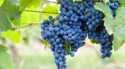 Odmładzająca moc winogron