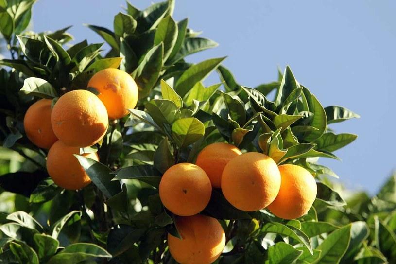 Odpocznij w cieniu drzewka pomarańczowego /AFP