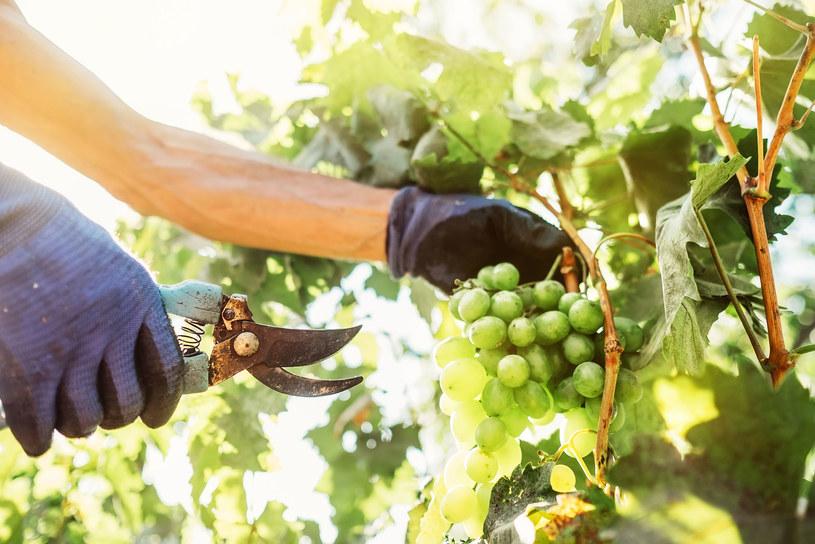 Odpowiednie przecięcie zapewnia prawidłowy wzrost i obfite owocowanie. /123RF/PICSEL