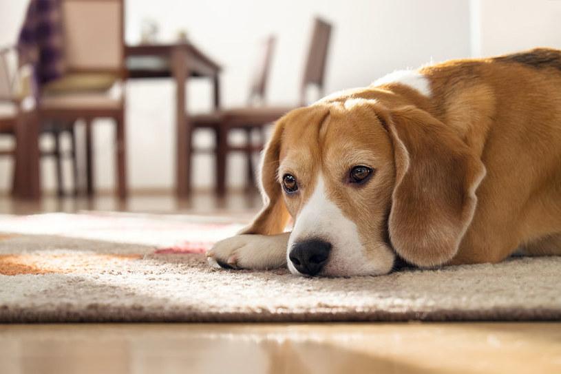 Odwodniony pies może mieć kłopoty z poruszaniem /123RF/PICSEL