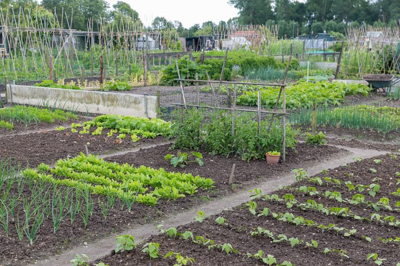 Ogród warzywny /©123RF/PICSEL