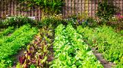 Ogródek warzywny wczerwcu