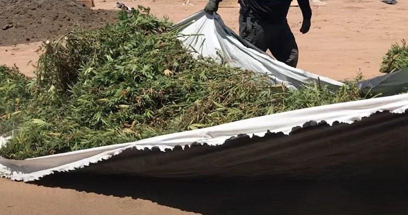 Ogromne ilości marihuany zarekwirowane podczas akcji służb w okolicach Los Angeles /Los Angeles County Sheriff's Department /materiały prasowe