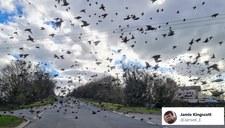 Ogromne stado szpaków tuż nad ziemią. Zdjęcie hitem