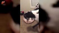 Ogromny pies znalazł sobie idealne miejsce na spanie