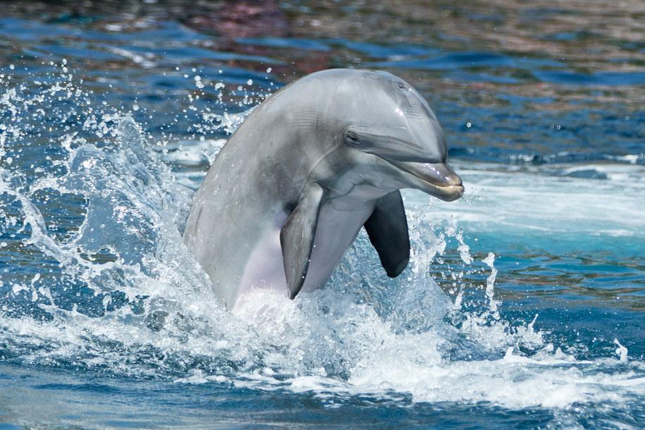 Okazało się, że delfiny mają najdłuższą pamięć wśród zwierząt /Daniel Karmann /PAP/EPA
