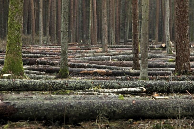 """Okolice Czerlonki - las """"pokornikowy"""" oddział 445 Puszczy Białowieskiej, cięcia przy drodze /Artur Reszko /PAP"""