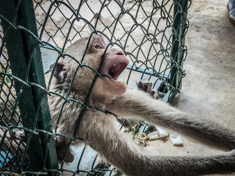 Okrutny los spotykał też małpy: na nagraniach widać, jak makaki próbują uwolnić się z metalowych uprzęży. /123RF/PICSEL