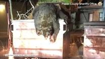 Olbrzymi niedźwiedź utknął w kontenerze na śmieci. Pomogli mu policjanci