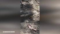 Olbrzymia osa atakuje pająka