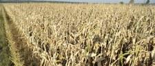 Olbrzymie straty polskich rolników przez suszę. Będą jeszcze większe