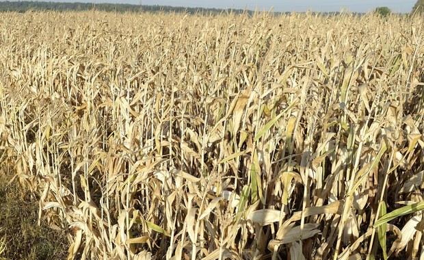 Olbrzymie straty polskich rolników przez suszę. To prawie miliard złotych!
