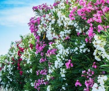 Oleander: Co zrobić, by był obsypany bujnymi kwiatami?