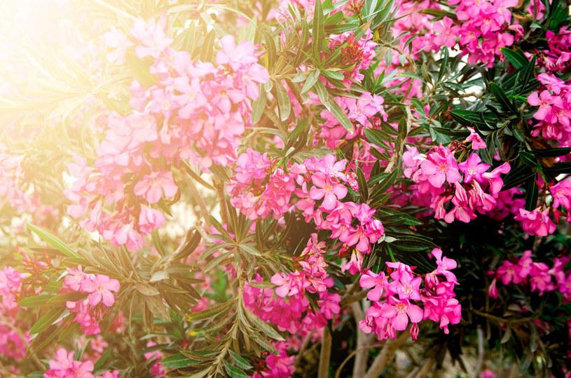 Oleander pospolity /©123RF/PICSEL