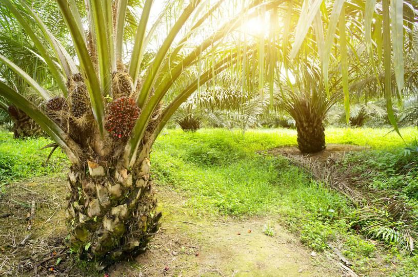 Olej palmowy jest w wielu produktach, ponieważ jest tani i łatwo dostępny. /123RF/PICSEL