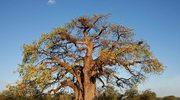 Olej z baobabu. Godny następca oleju arganowego