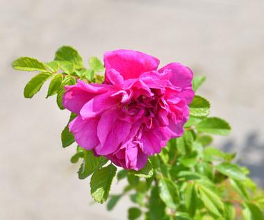 Olej z róży pomarszczonej a nowotwory. Wyjątkowe odkrycie polskich naukowców