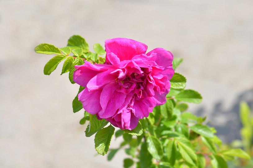 Olej z róży pomarszczonej (na zdj.) może być wykorzystywany w profilaktyce nowotworowej /123RF/PICSEL