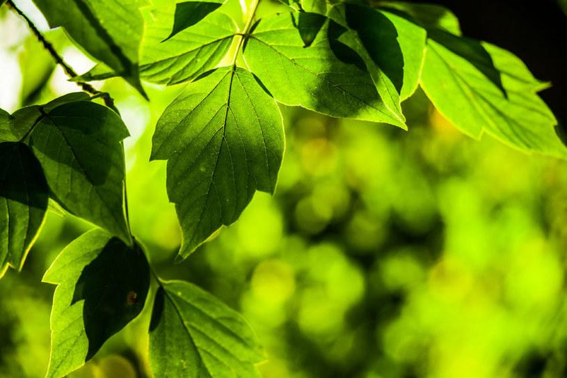 Opanowanie potencjału fotosyntezy może rozwiązać problemy energetyczne na całym swiecie /123RF/PICSEL
