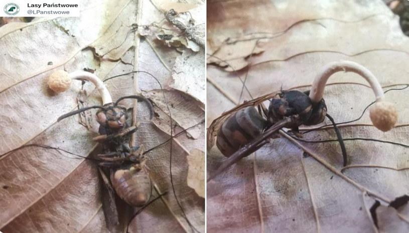 Ophiocordyceps ditmarii to grzyb, który infekuje i rozwija się w ciele ofiary /123RF/PICSEL