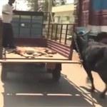 Opiekuńcza matka. Krowa biegnie za furgonem, który wiózł jej ranne cielę do weterynarza